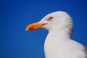 seagull-517091